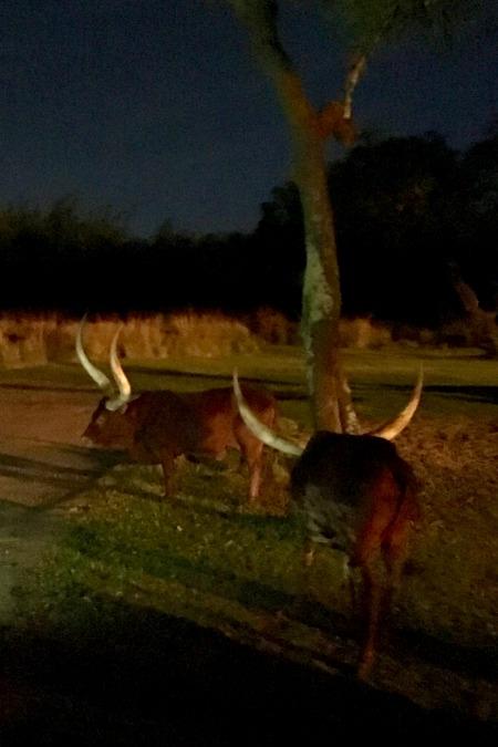 Disney Animal Kingdom at Night - Kilimanjaro Safari
