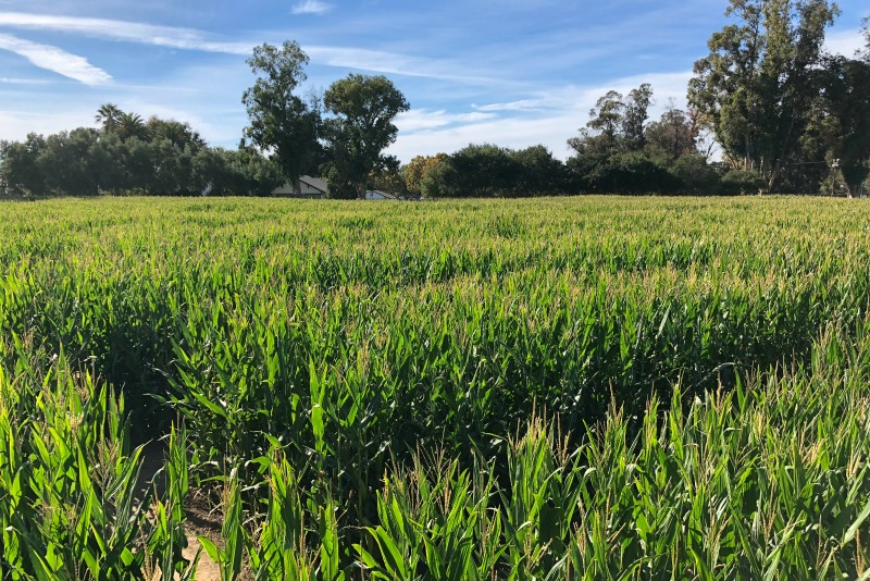 Fall Things to Do in San Francisco - GM Farms Corn Maze Livermore