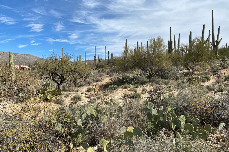 Tucson Desert Saguaro