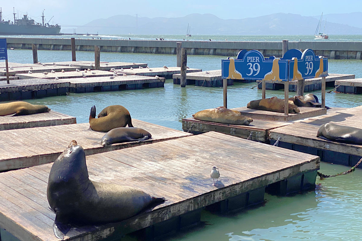 Sea lions on docks at San Francisco Pier 39 - a favorite for kids to watch.